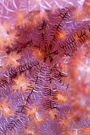 Star on Soft Coral