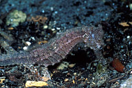Common Seahorse