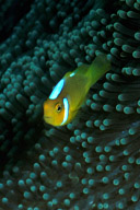 Juvenile White Bonnet Anemonefish