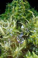 Periclimenes Venustus Shrimp in Fire Anemone