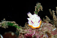 Tuberculate Mexichromis Nudibranch
