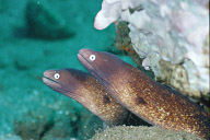 Pearl Eye Eels