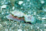 Glossodoris Cincta Nudibranch