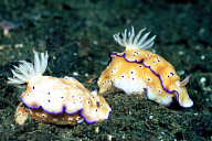 Risbecia Tryoni Nudibranchs