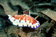 Chromodoris Collingwoodi Nudibranch