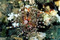 Calamari Sea Urchin