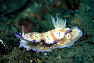 Risbecia Tryoni Nudibranch