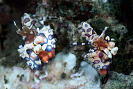 Harlequin Shrimp Pair