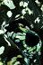 Tridacna Clam Siphon
