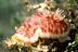 Chromodoris Tinctoria Nudibranch