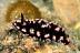 Phylidiella Pustulosa Nudibranch