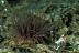 Tube Anemone with Undescribed Periclimenes Shrimp