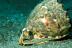 Cassis Cornuta Helmet Snail