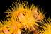 Tubastrea Coral