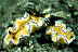 Glossodoris Atromarginata Nudibranchs