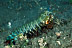 Odontodactylus Scyllarus Mantis Shrimp