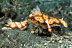 Risbecia Tryoni Nudibranchs with Imperial Shrimp