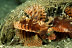 Dwarf Lionfish
