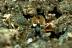 Odontodactylus Brevirostris Mantis Shrimp