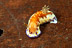 Chromodoris Collingwoodii Nudibranch