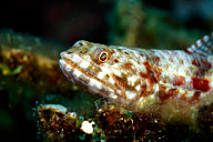 Lizardfish