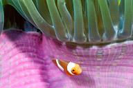 Juvenile Percula Clownfish