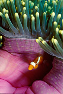 Juvenile Percula Clownfish