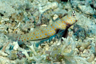 Shrimp Goby