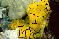 Mating Notodoris Minor Nudibranchs