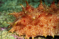 Thelenota Rubralineata Sea Cucumber