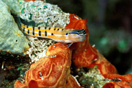 Axelrod&#039;s Blenny