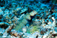 Shrimp Goby and Shrimp