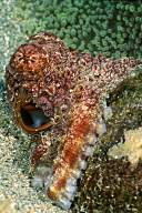 Octopus on Rock