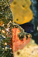 Silky Blenny