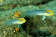Blue Banded Gobies