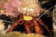 Shell Breaking Hermit Crab