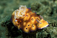 Risbecia Tryoni Nudibranch with Imperial Shrimp