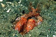 Giant Lysiosquilla Mantis Shrimp