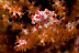 Pygmy Seahorse
