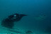 Manta Rays