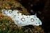 Jorunna funebris Nudibranch