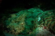 Wobbegong Shark