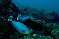 Surgeonfish Cleaning Station