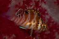 Hawkfish in Soft Coral