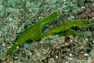 Robust Ghost Pipefish Pair