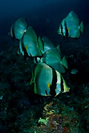 Batfish School