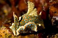 Sagaminopteron psychedelicum Sea Slug