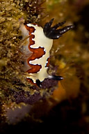 Chromodoris fidelis Nudibranch