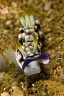 Chromodoris geometrica Nudibranch