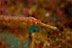 Longnose Pipefish